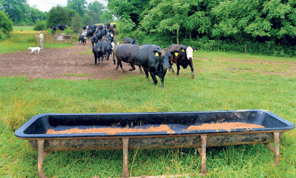 Cows rush to feed on mash as Massie Saunders and Molly open the gate for the 8:15 am feeding.